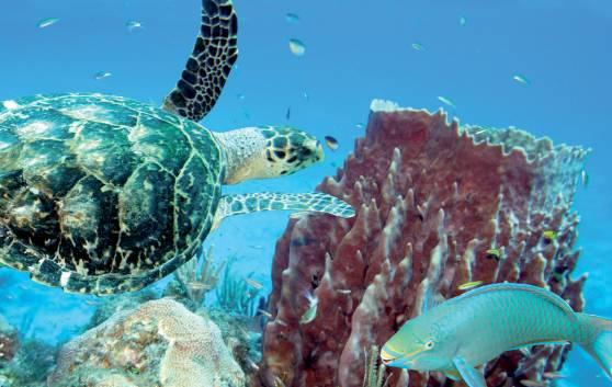 Atractivos en Cayo Largo: Liberación de tortugas