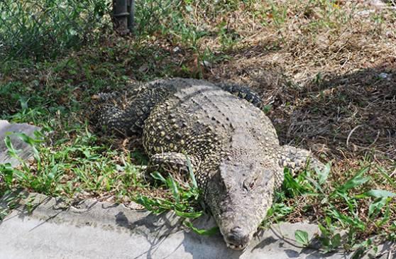 Zoo-Aufzuchtsfarm für Krokodile
